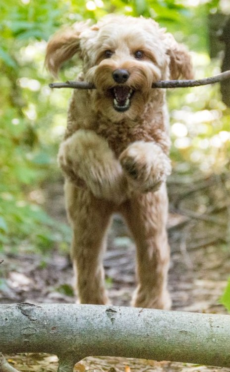 Welcome to Aussie Labradoodle
